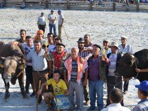 Germencik Belediyesi Geleneksel 1. Boğa Güreşi Festivali Yapıldı